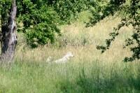 freilaufendehund