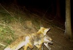 Ist der Fuchs wirklich an allem Schuld_Fuchs_C.Hanl_ji