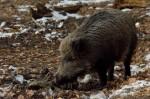 Afrikanische Schweinepest_Sau