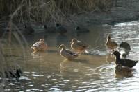 Thema Vogelgrippe Ente