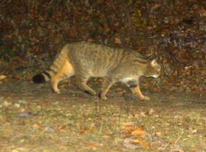 Wildkatze Fotofalle_Gerngross