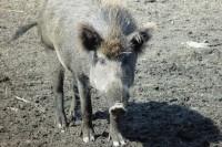 Wildschwein_OÖ LJV