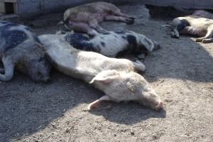 Afrikanische Schweinepest Abb 3