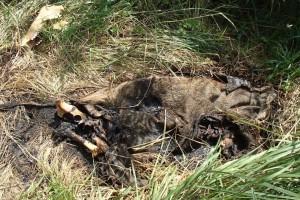 Afrikanische Schweinpest Abb 6