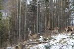 2_Österreich braucht die Jagd_Rotwild
