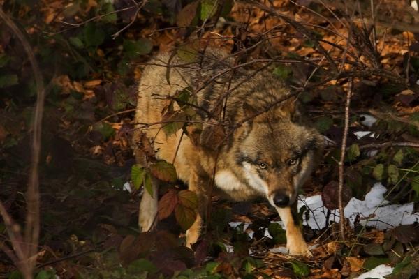Wolf Foto N. Mayr