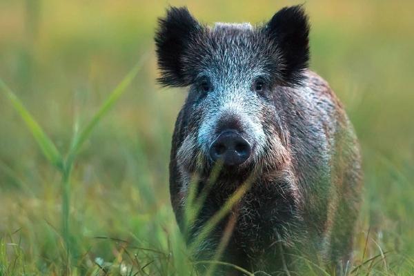 Afrikanische Schweinepest Folder AGES